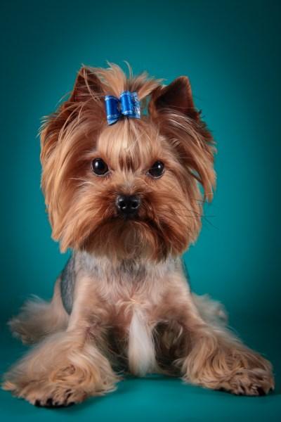Груминг для собак йорков